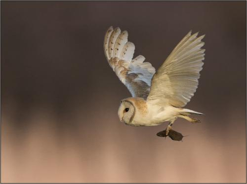 Barn Owl feeding time