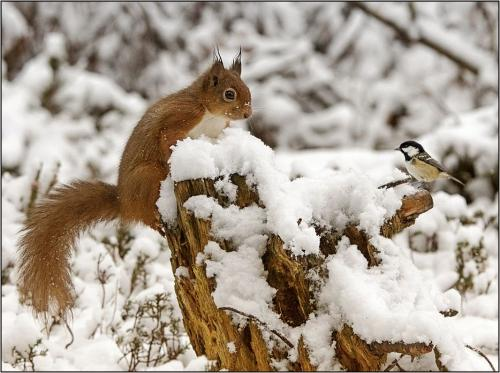Red Squirrel  Coal Tit stand off
