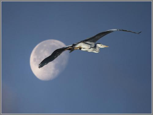 Heron  moon